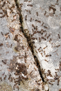 pavement_ants